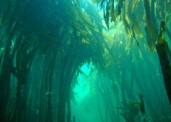 farne kelp