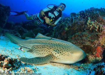 leopard-shark-koh-tachai