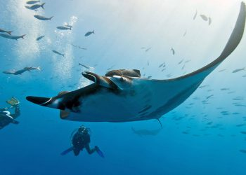 manta-ray-and-divers