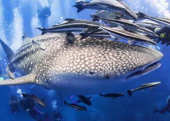 thailand whaleshark